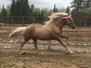 Handsome PALOMINO Morgan Stallion for Breeding Service!