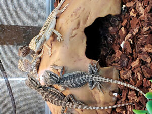 Baby bearded dragons at The Extreme Aquarium.