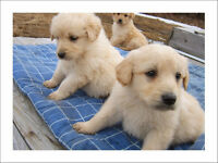 Goldendoodles, Puppies Light gold / Blonde, low to non shedding.