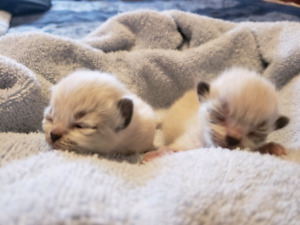 Himalayan raggdoll kittens only 3 left