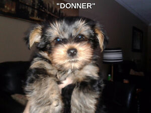 AKC Yorkshire Terrier Puppies in time for Christmas!