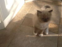 ****SOLD ****Seal mink mitted ragdoll