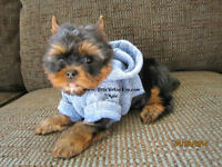 ~*~ NEW BABIES: Yorkie aka Yorkshire Terrier Pups ~*~