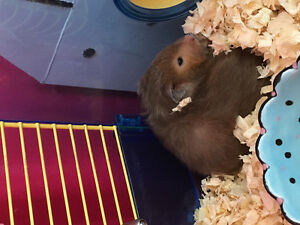 Hamster free with some accessories