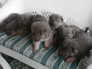 """"""" Blue""""/ Germa. Shepherd Puppies  Only 1 Male is available !"""
