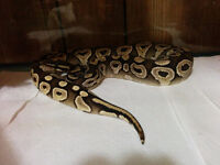 Several snakes for sale or trade. Looking for female milk snakes