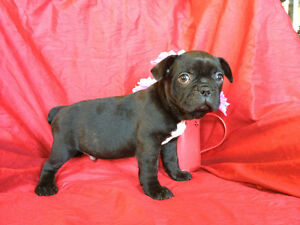 "Male French Bulldog Puppy ""Duke"" Available"