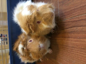 FREE!!Two long haired guinea pigs!! SOLD St. John's Newfoundland image 2