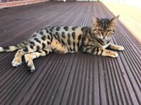 Adult Male Bengal pedigree cat needs new home