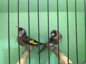 Canaries and European gold finches for sale