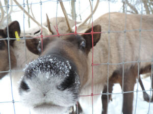 Cut your own Christmas tree & Real  Live Reindeer