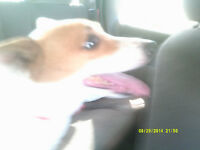 Missing my jack russell