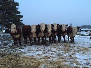 Have your pick of our heifer pen- Hereford heifers