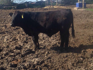 Simmental/Angus steer for sale
