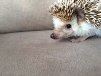Female African Pygmy Hedgehog