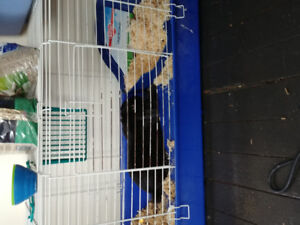 Black Lop Eared Rabbit and Cage