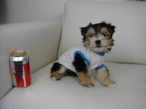 Toy Size Morkie Puppies - 1 Male Left !