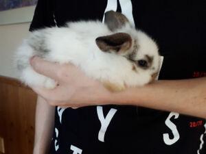 bébés lapins bélier hollandais