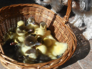 Muscovy ducklings day old.