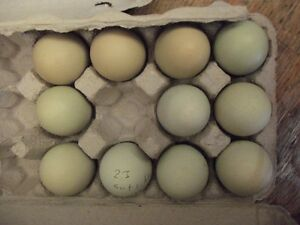 DAY OLD OLIVE EGGERS-EASTER EGGERS AND HATCHING EGGS