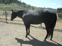 Western Pleasure Broodmare