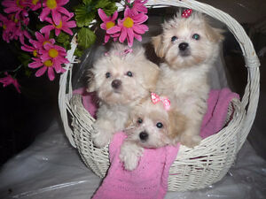 3- MaltiPoo Puppies for sale