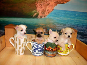 Teacup Chihuahua Puppies,  REAL Pocket Dogs