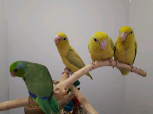 Hand raised baby parrotlet