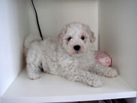 TOY SIZE BICHON-POO PUPPIES - Only 1 male left!
