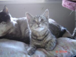 1 Ragdoll x Bengal x Persian male kitten for sale