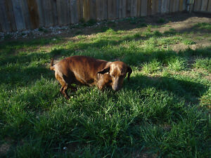 Brindle female mini dachshund