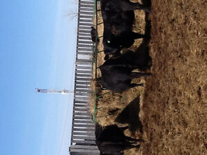 Replacement Yearling Black Angus Heifers