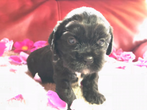 Cockapoo puppies - ONLY ONE LEFT