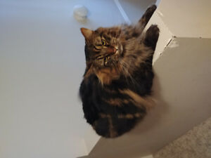 Sweet 2 year old tabby Blacky needs new home