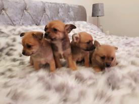 Cutest Pomchi Puppies 🐕🐕🐕