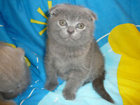 PURE BREED SCOTTISH FOLD AND STRAIGHT KITTENS