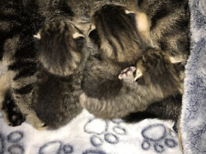Tabby kittens!