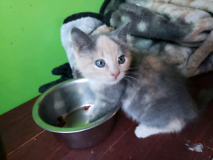 Kitten Available pending pick up