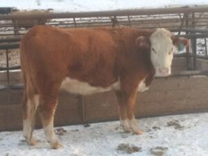 bred cows for sale