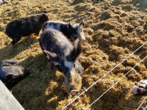 Miniature Cattle & Heritage Pigs