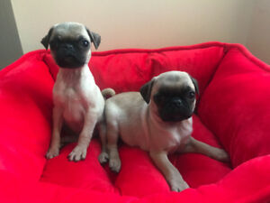 Gorgeous Male Pug Puppies (9 weeks)