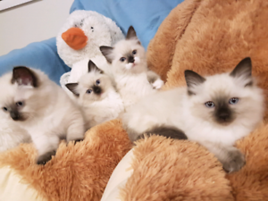 Ragdoll Kittens SOLD