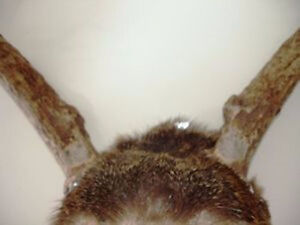 DEER ANTLERS 6 point with partial skull & skin MANTIQUES man cav Cambridge Kitchener Area image 5