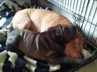 Beautiful blue shar pei pup vet checked flead and wormed.