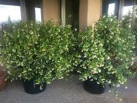 Two beautiful 5 ft. healthy, fragrant Jasmine plants