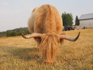 Unregistered Highland Cow & Steer Calf for Sale