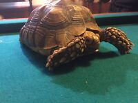 5 year old sulcata tortoise