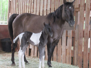 GRULLO MARE with 2018 colt or sell seperate