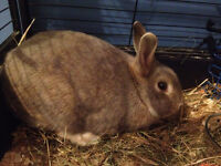 Free grey Dwarf Rabbit need gone asap