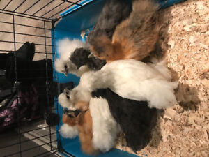 Free:7 Silkie chicks and 1 polish hen